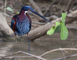 Agami Heron by jeenie11, photography->birds gallery