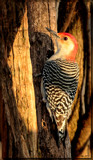 Red Bellied Woodpecker by tigger3, photography->birds gallery