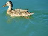 Duckie by Zava, photography->birds gallery