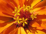 Lemon Orange Mango Delight by Hottrockin, Photography->Flowers gallery