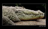 croc on rock by JQ, Photography->Reptiles/amphibians gallery