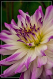 Dahlia Show 02 by corngrowth, photography->flowers gallery