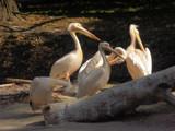 Pelican gang by ekowalska, photography->birds gallery