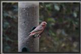 Purple Finch by Jimbobedsel, photography->birds gallery
