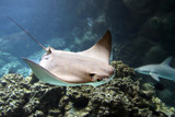 A Curious Ray by Nikoneer, photography->underwater gallery