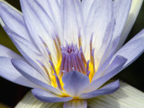 Lavender Lily Blossom by bikolnon, Photography->Flowers gallery
