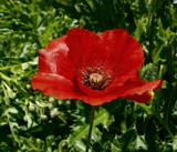 Wild Poppy by trixxie17, photography->flowers gallery