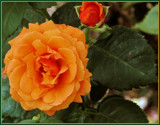 Orange Juice Rose by trixxie17, photography->flowers gallery