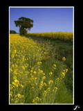 rape seed re-repost by gse1978, Photography->Landscape gallery