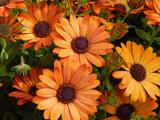 Autumn Osteospermum by trixxie17, photography->flowers gallery