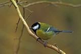One Great Tit by biffobear, photography->birds gallery