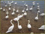 Delegates Arrive to the Swan Convention by Pjsee16, photography->birds gallery