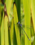 Emerald Damselfly by biffobear, photography->insects/spiders gallery