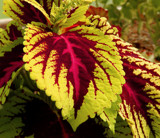 Coleus by trixxie17, photography->nature gallery