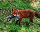 Gotcha2 by biffobear, photography->animals gallery