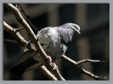 City Birds II: King o' the Parkette by theradman, Photography->Birds gallery