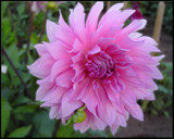 Dahlia on Friday by Ramad, photography->flowers gallery