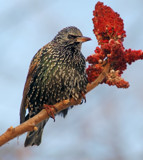 Starling by gerryp, Photography->Birds gallery