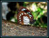 Resting by mimi, Photography->Butterflies gallery
