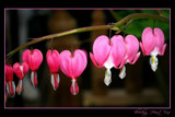 Bleeding Heart Vine by JQ, Photography->Flowers gallery