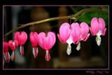 Bleeding Heart Vine by JQ, Photography->Flowers gallery