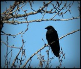Crow by GIGIBL, photography->birds gallery