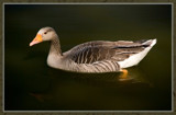 Just A....Goose by corngrowth, Photography->Birds gallery