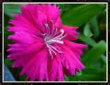 Little Pink Flower by xXRyokoxBlachiXx, Photography->Flowers gallery