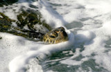 honu in the suds by jeenie11, Photography->Reptiles/amphibians gallery