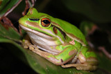 Green and Golden Bell Frog by flanno2610, Photography->Reptiles/amphibians gallery