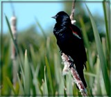 Among the Cattails by trixxie17, photography->birds gallery