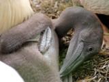 Young Pelican by Paul_Gerritsen, Photography->Birds gallery