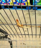 My service lizard. by GomekFlorida, photography->reptiles/amphibians gallery