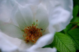The White Rose - The Inside Story by braces, Photography->Flowers gallery
