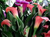 Mixed Calla Lilies by trixxie17, photography->flowers gallery