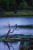Evening with the Herons by Pistos, photography->birds gallery