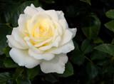 Pristine by trixxie17, photography->flowers gallery