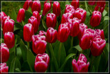 Amsterdam Tulip Festival 10 by corngrowth, photography->flowers gallery
