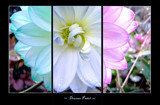 Douceur Pastel by jesouris, Photography->Flowers gallery