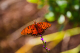 Gulf Fritillary (2) by Pistos, photography->butterflies gallery