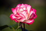 Late Rose (4) by Pistos, photography->flowers gallery