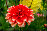 Dahlia Show 21 by corngrowth, photography->flowers gallery