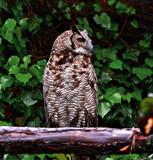 European Eagle Owl by biffobear, photography->birds gallery