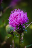 A Thistle's Crown by Pistos, photography->flowers gallery