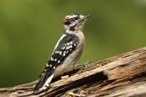 Downy Woodpecker... by egggray, photography->birds gallery