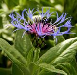 Mountain Bluet by trixxie17, photography->flowers gallery