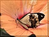 Butterfly Twenty Seven On Orange Foofy by Jimbobedsel, Photography->Butterflies gallery