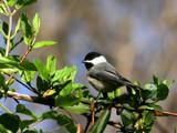 chickadee by jeenie11, Photography->Birds gallery