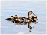Famille Colvert by noranda, Photography->Birds gallery