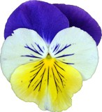 Viola by ccmerino, Photography->Flowers gallery